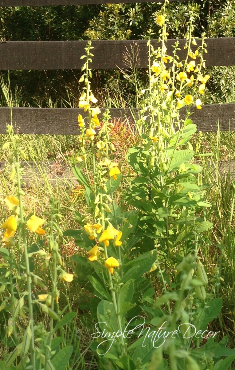 perennial yellow wild flowers