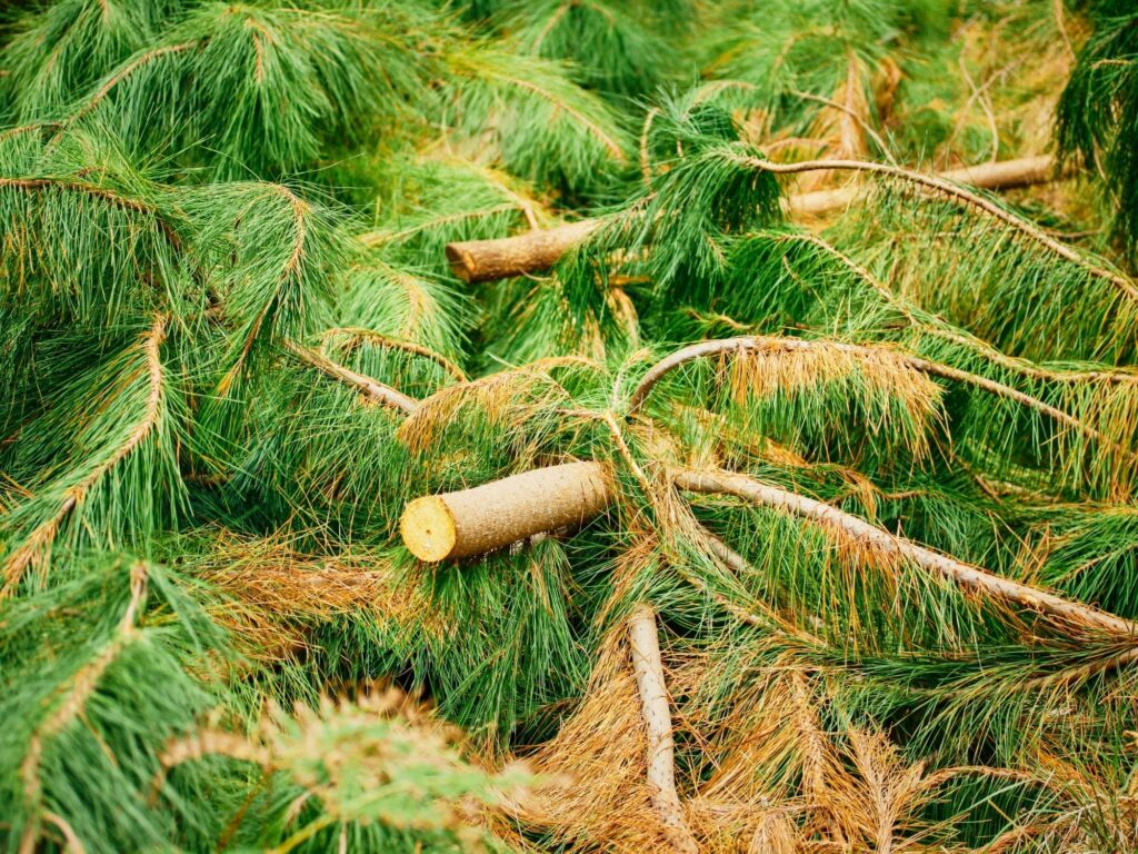 Balsam pine clippings:How To Make Fresh Scented Balsam Pine Potpourri