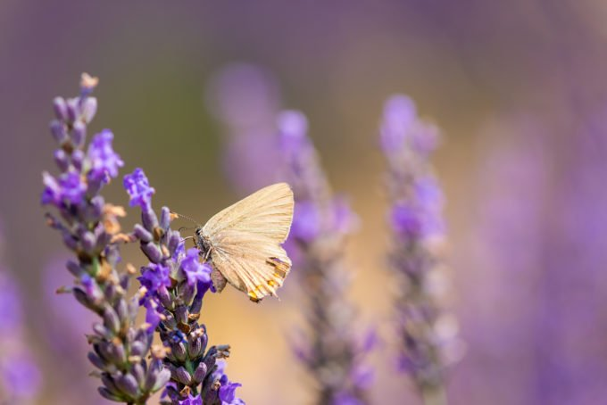 Curb appeal butterfly on a lavender meadow